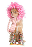 Chihuahua ready for winter Royalty Free Stock Photo