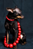 Chihuahua in red beads. On a dark background Royalty Free Stock Images
