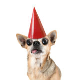A chihuahua with a red birthday hat on Royalty Free Stock Photography
