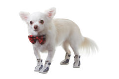 Chihuahua red bow Royalty Free Stock Photo