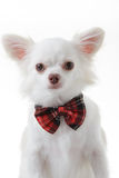 Chihuahua red bow Royalty Free Stock Images