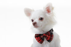 Chihuahua red bow Stock Images