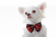 Chihuahua red bow Royalty Free Stock Photography