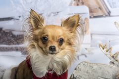 Chihuahua in red clothing sitting in winter scene, portrait. Chihuahua in red clothing sitting in winter scene Royalty Free Stock Image