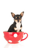 Chihuahua in red cup Stock Photo