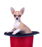 Chihuahua in a red hat Stock Images