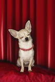 Chihuahua On Red Pillow With Eyes Closed Royalty Free Stock Photo