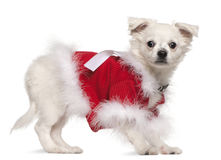 Chihuahua in red sweater, 17 months old Stock Image