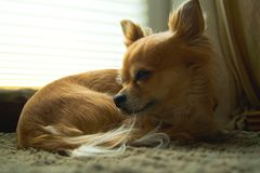 Chihuahua. Is relaxing at home Stock Photo