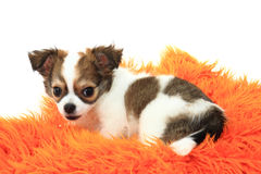 Chihuahua is resting Stock Images