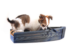 Chihuahua is resting Royalty Free Stock Photo