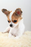 Chihuahua is resting Stock Photography