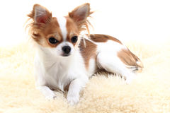 Chihuahua is resting Stock Photo