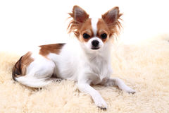 Chihuahua is resting Royalty Free Stock Images