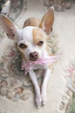 Chihuahua Ribbon Royalty Free Stock Photography