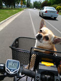 Chihuahua riding bicycle. A little Chihuahua in a bicycle basket riding on the road Stock Image