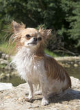 Chihuahua in the river Stock Photography