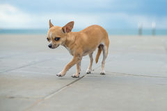 Chihuahua on a road. Little chihuahua walking in a middle of a road and looking  shy Stock Photos