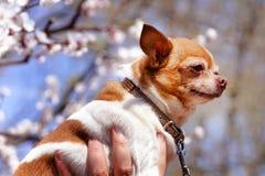 Chihuahua rodeada por Sakura floreciente Pequeño perro adorable en fondo de la flor imágenes de archivo libres de regalías