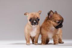 Chihuahua rodzina Fotografia Royalty Free
