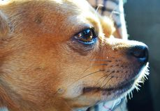 Chihuahua, romantic gaze. A chichuahua dog and a romantic gaze against the blurred background. Close up, portrait Stock Photography