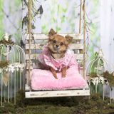 Chihuahua with a rose jacket on a rose pillow Stock Image