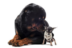 Chihuahua  and rottweiler Royalty Free Stock Photo