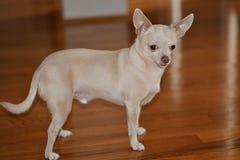 Chihuahua rubia que se coloca en la madera marrón Fotos de archivo libres de regalías