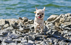 Chihuahua runnig near river on a sunny day Stock Photos