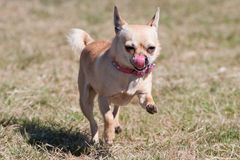 Chihuahua running Stock Photography