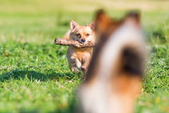 Chihuahua runs with a stick with a small blurred dog in the foreground. Cute chihuahua dog runs with a stick in the snout on the meadow with a small blurred dog Royalty Free Stock Photo