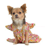 Chihuahua with rural stuye dress Royalty Free Stock Photo