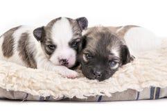 Chihuahua słodcy szczeniaki skupiali się wpólnie fotografia royalty free