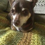 Chihuahua sad eyes Royalty Free Stock Photography