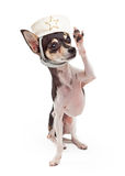 Chihuahua Sailor Dog Saluting Stock Images