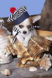 Chihuahua in sailor hat Stock Photos