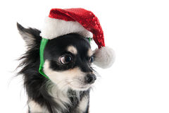 Chihuahua with Santa Claus hat Stock Photos