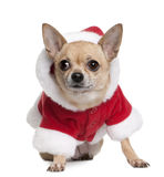Chihuahua in Santa coat, 6 years old Royalty Free Stock Photography