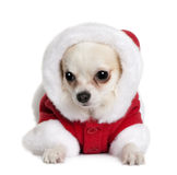 Chihuahua in Santa coat, 7 months old Royalty Free Stock Image