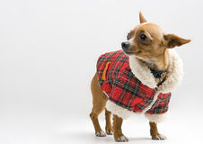 Chihuahua in Santa costume Royalty Free Stock Photos