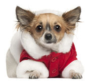 Chihuahua in Santa outfit, 1 year old, lying Royalty Free Stock Images