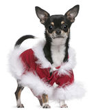 Chihuahua in Santa outfit, 7 months old Stock Images