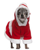 Chihuahua in Santa outfit, 7 years old, standing Stock Photos