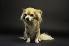 Chihuahua Sat on a Black Background Stock Image