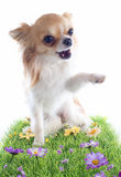 Hello of chihuahua Stock Images
