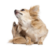 Chihuahua scratching Stock Image