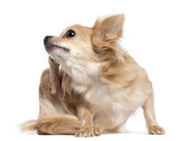 Chihuahua scratching stock photos