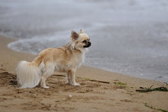 Chihuahua by the sea Stock Photo