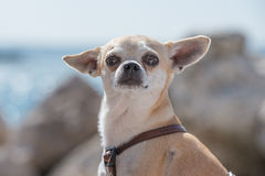 Chihuahua on sea. Chihuahua portrait in rocky coastal environment Royalty Free Stock Image
