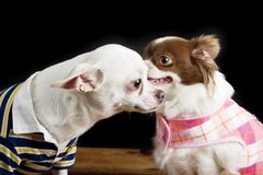 Chihuahua Secret Royalty Free Stock Images